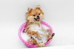Lustiger Hund, der ein Bad nimmt Lizenzfreies Stockfoto