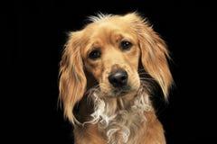 Lustiger Hund des Mischzuchtbrauns in einem dunklen Studio Lizenzfreies Stockfoto