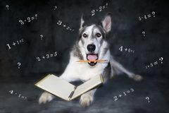Lustiger Hund frustriert durch einfache mathematische Probleme stockbilder