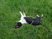 Lustiger Hund liegt unter grünem Gras Stockbild