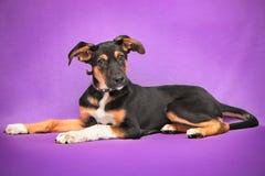 Lustiger Hund mit den großen Ohren, die auf Purpur liegen Lizenzfreie Stockfotos