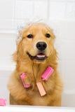 Lustiger Hund mit Haarlockenwicklern und einer Duscheschutzkappe Lizenzfreies Stockbild