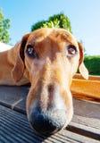 Lustiger Hund mit langer Nase Stockfotografie