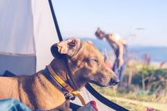 Lustiger Hund schläft im Zelt - wunderbare Reise für alle Stockfotografie
