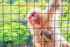 Lustiger japanischer Affe Stockfotos