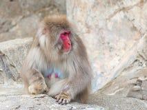 Lustiger japanischer Affe Stockfotografie