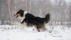 Lustiger junger die Shetlandinseln-Schäferhund, Sheltie, Collie Playing Outdoor In Snow, Wintersaison Spielerisches Haustier drau stock video footage