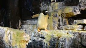 Lustiger Kaiser-Pinguin, der auf einen Felsen an Seaworld-Freizeitpark geht stock video footage