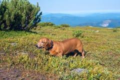Lustiger kleiner Hund, welche nach Blaubeeren sucht Stockbild