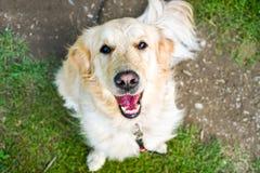 Lustiger lächelnder Hund mit rötlicher Nase lizenzfreies stockbild