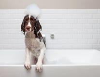Lustiger nasser Hund wünscht aus Wanne heraus stockfotografie