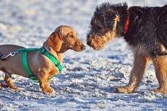 Lustiger netter Dachshundhund trifft Airedale-Welpen Stockfotos