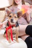Lustiger netter Hund mit dem roten Band, das mit sexy Frau im Bettblinkenaugen-Nahaufnahmebild sitzt Stockfoto