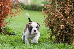 Lustiger netter roter amerikanischer Bulldoggenwelpe geht auf das Gras stockbild