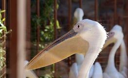 Lustiger Pelikan stockbild