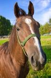 Lustiger Pferdenkopf Lizenzfreie Stockfotografie