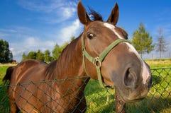 Lustiger Pferdenkopf Stockfotos