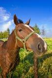 Lustiger Pferdenkopf Lizenzfreie Stockfotos