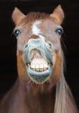 Lustiger Pferdeportrait stockfotografie
