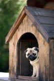 Lustiger Pughund in der Hundehütte Lizenzfreies Stockfoto