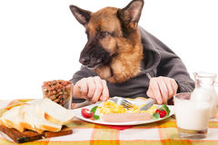 Lustiger Schäferhundhund mit den menschlichen Händen, durcheinandergemischtes Ei essend Stockfoto
