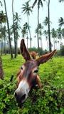 Lustiger schauender Jack-Esel Stockfoto