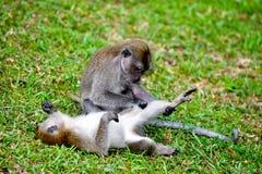 Lustiger schauender langschwänziger Makaken Lizenzfreies Stockbild