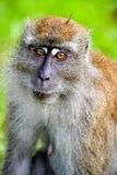 Lustiger schauender langschwänziger Makaken Stockfotografie