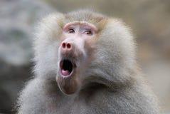Lustiger schauender Pavian Lizenzfreies Stockbild