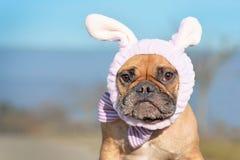 Lustiger schauender weiblicher Hund der französischen Bulldogge oben gekleidet mit Osterhasenkostüm Stirnband und bowtie stockbild