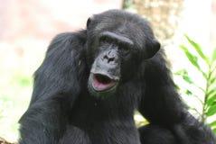 Lustiger Schimpanse, der dumme Gesichter mit seinen Lippen macht Lizenzfreie Stockfotos