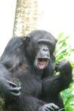 Lustiger Schimpanse, der Gesichter mit seinem Mund und Lippen macht Lizenzfreie Stockbilder