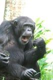 Lustiger Schimpanse, der lustige Gesichter mit seinem Mund macht Lizenzfreie Stockfotos
