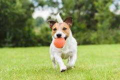 Lustiger Schoßhund, der mit orange Spielzeugball spielt Lizenzfreies Stockbild