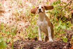 Lustiger Spürhund lizenzfreies stockbild