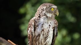 Lustiger Steinkauz im Naturwaldlebensraum stock video footage