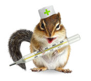 Lustiger Tierstreifenhörnchengriffthermometer, Veterinärkonzept auf wh Lizenzfreies Stockfoto
