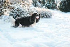Lustiger unbekümmerter Spanielhund Königs Charles bedeckt mit dem Schnee, der auf dem Weg im Wintergarten spielt Lizenzfreies Stockbild