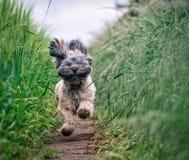 Lustiger und haariger Hund, der durch Feld läuft stockfotos