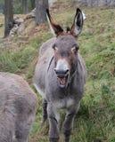 Lustiger und lächelnder Esel Stockbilder