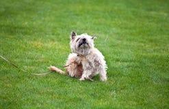 Lustiger Hund mit Flöhen Lizenzfreie Stockbilder