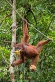 Lustiger weiblicher Orang-Utan, der an einem Seil mit einem banch von Bananen hängt Lizenzfreie Stockfotografie