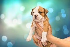 Lustiger Welpe American Staffordshire Terrier in den Händen auf festlichem blaugrünem abstraktem Hintergrund lizenzfreies stockfoto