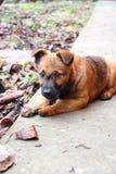 Lustiger Welpe, der Knochen isst und Kamera betrachtet Nettes kleines Haustier Inländischer Hund im Hinterhof Stockbild
