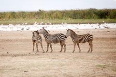 Lustiger Zebras Equus Quagga lizenzfreie stockfotos