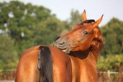 Brown-Pferd, das auf der Weide sich verkratzt Stockbilder
