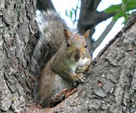 Lustiges Eichhörnchen Stockfoto