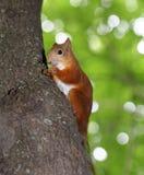 Lustiges Eichhörnchen isst eine Nuss Stockbild