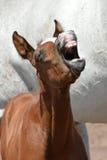 Lustiges Fohlenporträt Stockfotografie