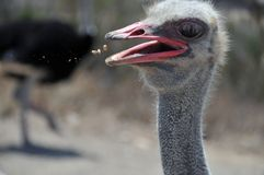 Lustiges Foto des Lebensmittelfliegens in einen Strauß ` s Mund Stockfotos